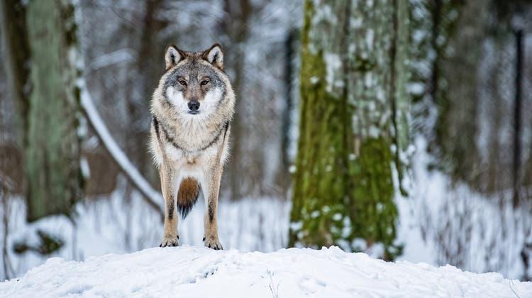 Die Führung im Naturmuesum zum Wolf gibt es in drei Sprachen. (Bild: Keystone/Wojciech Pacewicz)