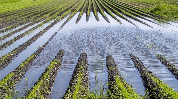 Beschädigte Getreidefelder im Berner Seeland nach den starken Regenfällen Mitte Juli. (Adrian Reusser / KEYSTONE)