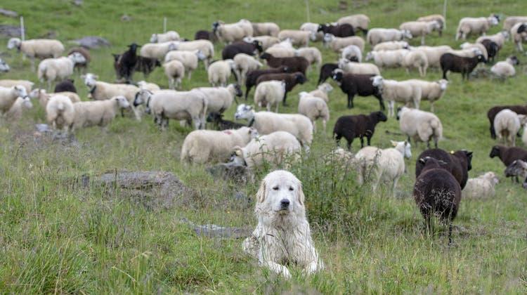 Trotz verstärkten Schutzmassnahmen reissen die Wölfe im Kanton Graubünden Schafe und Ziegen. (Symbolbild) (Keystone)