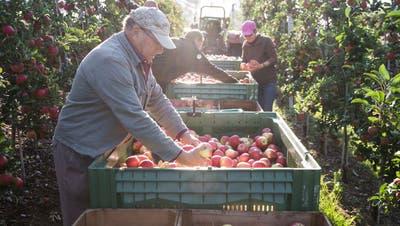 Apfelernte in Gelfingen. (Symbolbild: Manuela Jans-Koch (2. Oktober 2018))