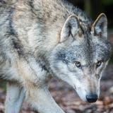 Einzelne Wölfe streifen immer wieder durchs Toggenburg und reissen Nutztiere. (Bild: Benjamin Manser)
