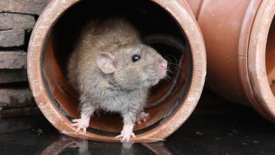 Foto von der Ratte gibt es leider nicht. Dafür ein Zopfteigtierli. Bitte, gern geschehen. (Bild: Fotolia)