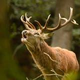 Der kantonal bedeutende Wildtierkorridor– auf dem Bild ein Rothirsch– wird zusammengeschlossen. (key)