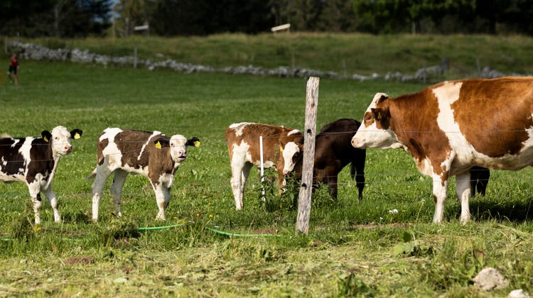 Tagsüber leben die Kälber auf einer eigenen Weide. Auf dem Weg zum Melken können die Kühe schon mal an den kleinen riechen. (Severin Bigler)