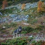Wölfe, hier ein imAugstbordgebiet im Oberwallis aufgenommenes Tier, haben in den letzten Wochen auch im Obertoggenburg Schafe gerissen. (Symbolbild: Gruppe Wolf Schweiz)