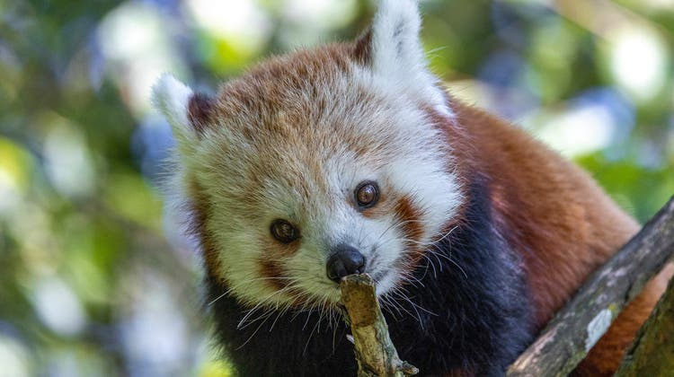 Der Kleine Panda Siddhi kommt aus dem Zoo Brünn in Tschechien. (Zoo Zürich, Enzo Franchini)