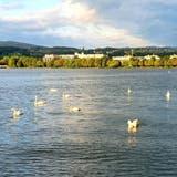 Gängiger Anblick: Eine Gruppe Schwäne vor dem Arboner Ufer. (Bild: PD)