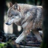 Kein Alpsommer ohne Aufregung um die Wölfe: Die Schadensbilanz des Kantons St.Gallen gibt zu reden. (Bild: Benjamin Manser)