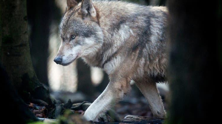 Wölfe, die dem Menschen hinterherlaufen, sollen abgeschossen werden können: Dies verlangt Nationalrat Nicolo Paganini mit einer parlamentarischen Initiative. (Bild: Benjamin Manser)