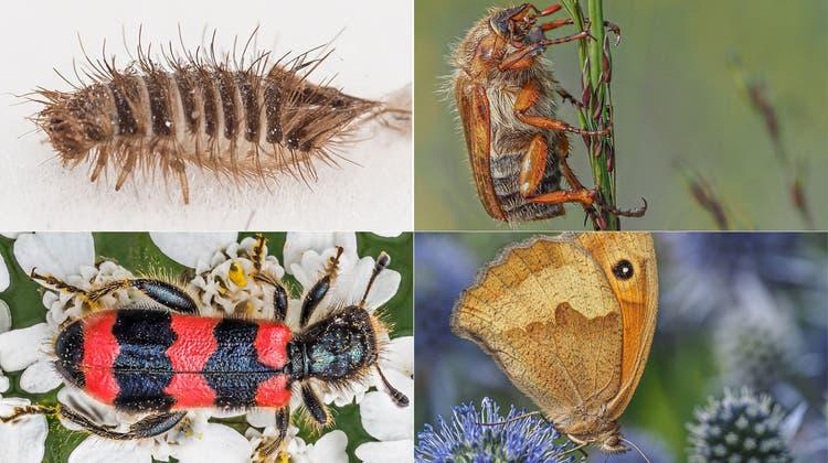 André Mégroz hat sich dem Erforschen und Sammeln von Insekten verschrieben. (Bild: Ralph Ribi (St.Gallen, 26. August 2019))