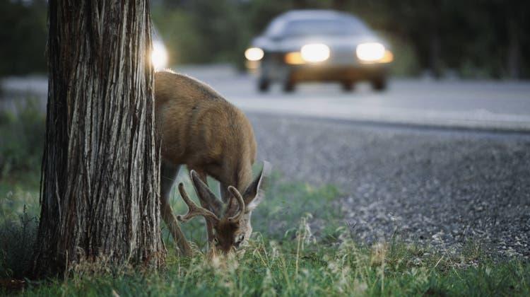 Die Routen der Wildtiere führen teils über befahrene Strassen. (Bild: imago images)