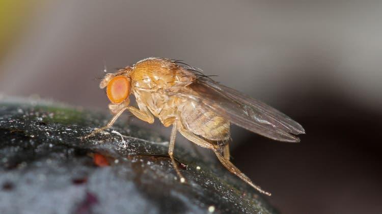 Ein Weibchen der Kirschessigfliege. (Bild: Beat Wermelinger / WSL)