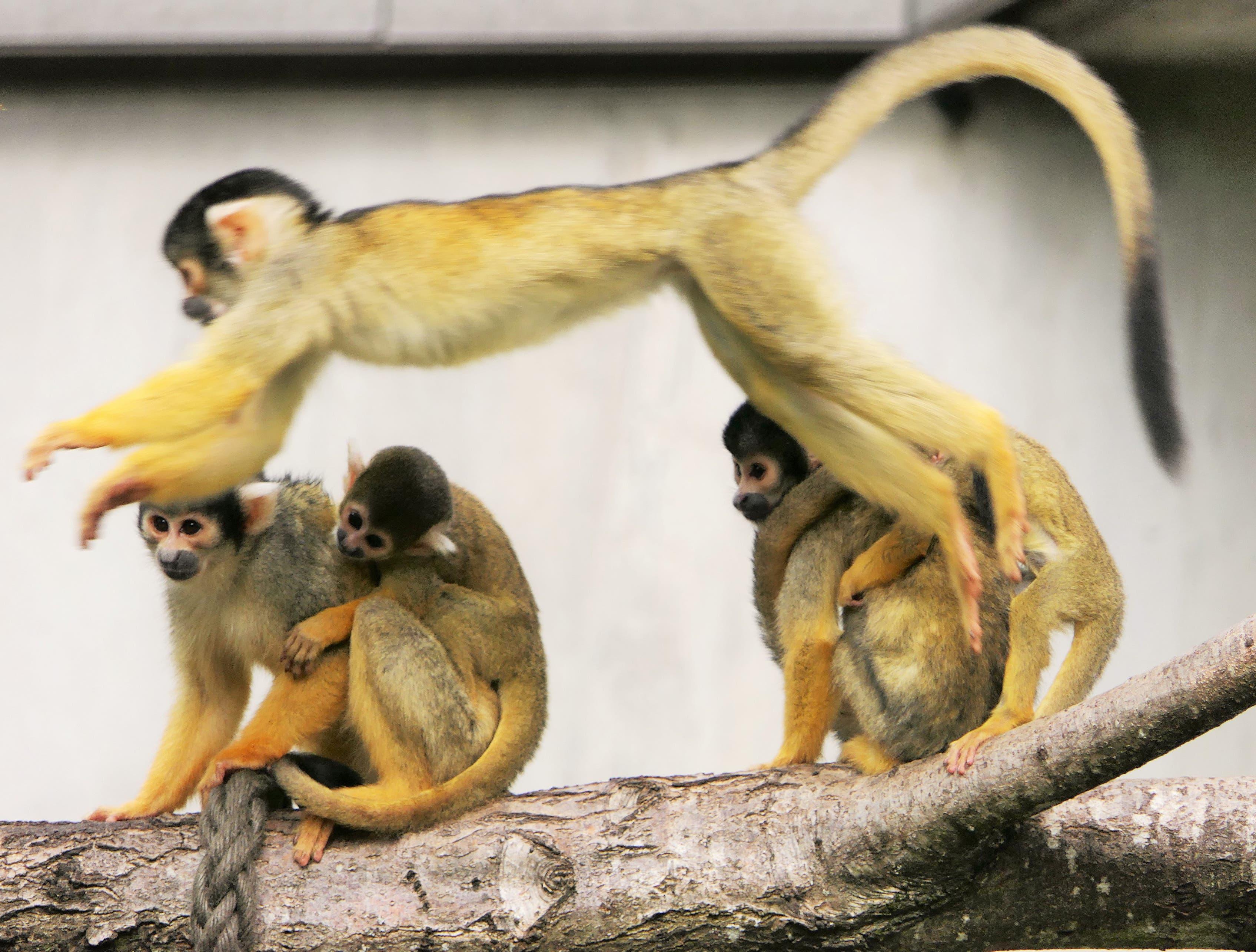 Totenkopf-Affen im Zoo Basel