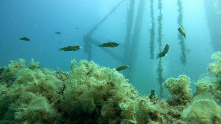 Fische am reich mit Algen bewachsenen künstlichen RiffCostandis. Das Schiff wurde 2014 versenkt. (Bild: Lea Durrer)