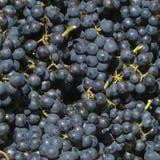 Weintrauben bei der Ernte. (Bild: PD)
