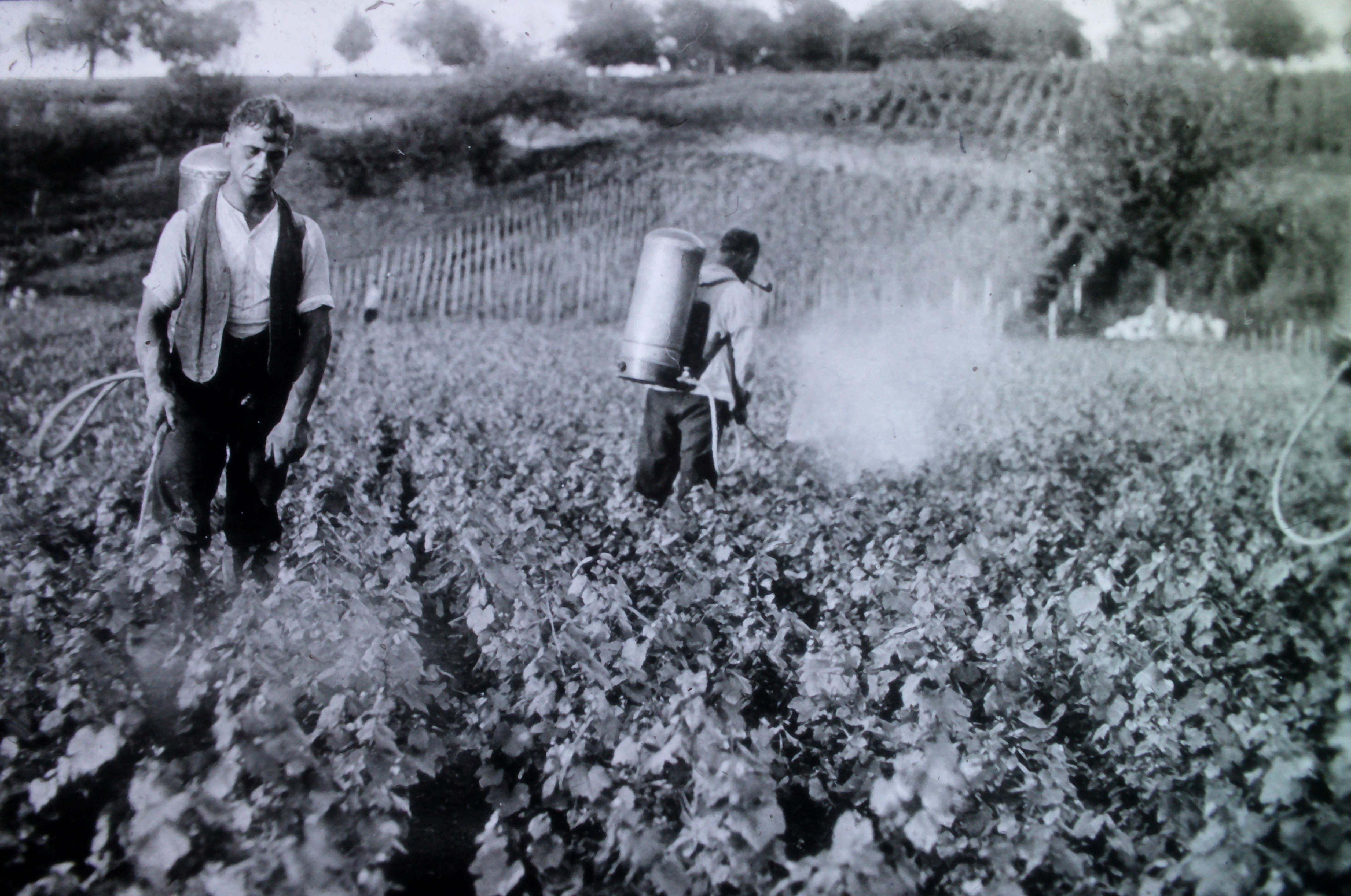 In den 1930er-Jahren spritzen Arbeiter die Rebpflanzen.