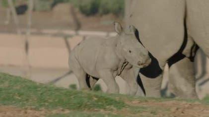 Kleines Nashorn erkundet Safari Park