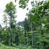 Der Wald leidet unter der Klimaerwärmung, indirekt profitiert er aber auch. (Kenneth Nars)