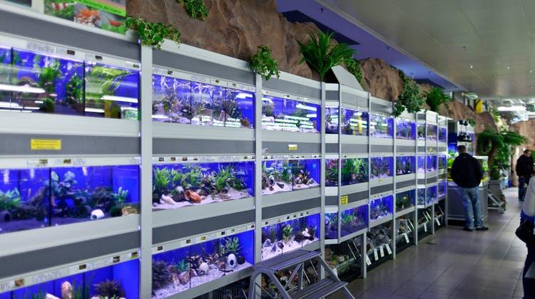Aquarien und Fische werden oft spontan gekauft. Dies sei problematisch, findet der Bund. (Symbolbild) (Keystone)