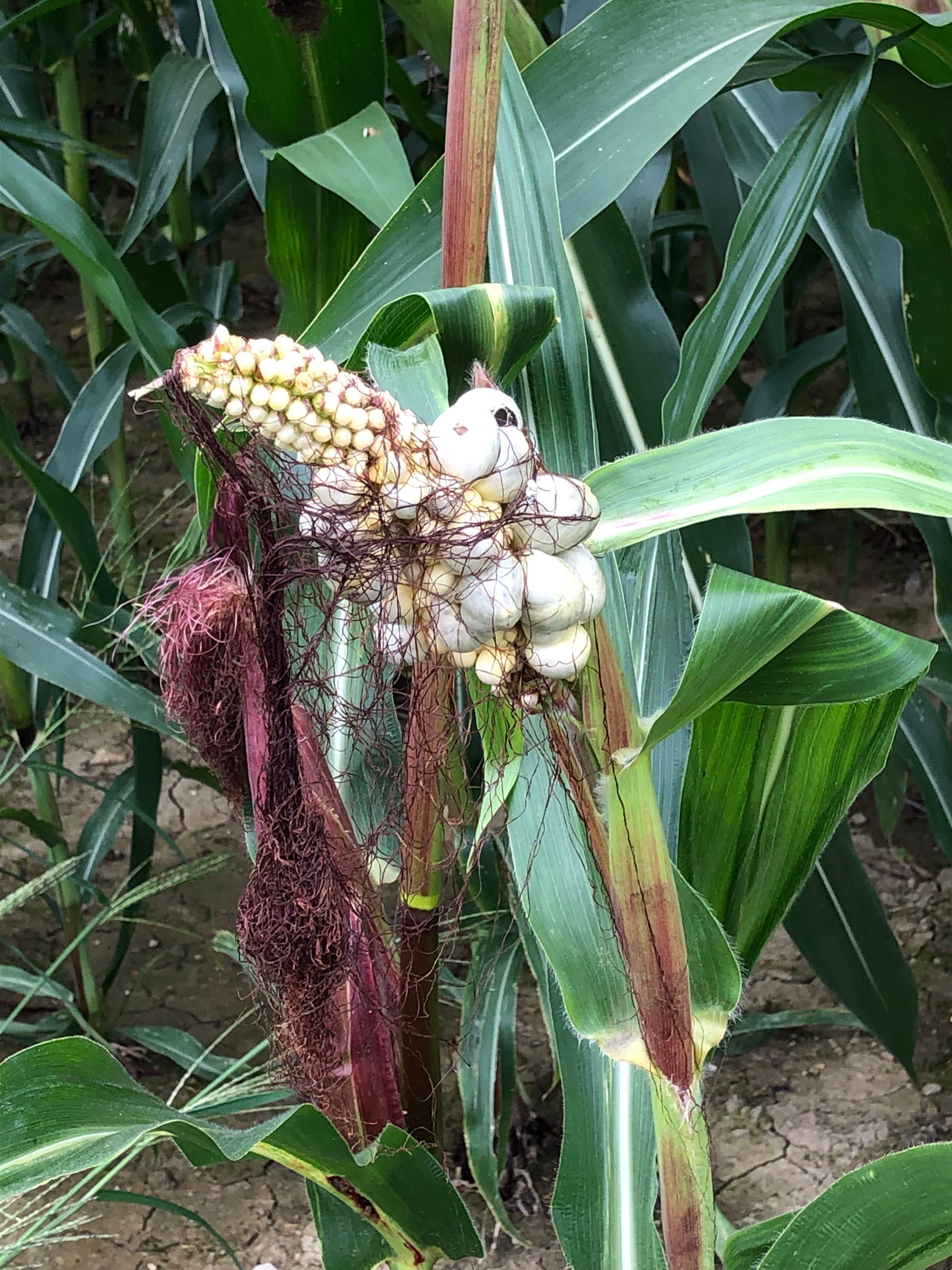 Jetzt gibt es Popkorn direkt ab Maispflanze.