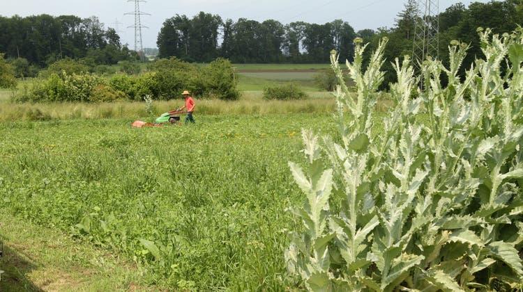 Auf 2,5 Hektaren wächst im Garten von Weleda etwa die Eselsdistel. Deren Blüten werden für ein Herzmedikament weiterverarbeitet. (rza)