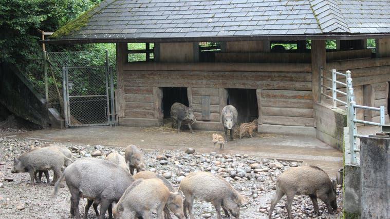Teenage- Wildschweine und neue Frischlinge: Das gibt  es selten gleichzeitig  im «Roggi». (Nadja Rohner)