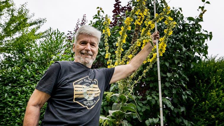 Nicht ohne Stolz zeigt Ricco Grüter in seinem Garten in Bottmingen die rekordhohe Königskerze: (Kenneth Nars)