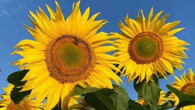 Vom Regen zerzaust, können sie endlich der Sonne entgegen lachen. (Ursula Voegeli / HUGC Uploader)