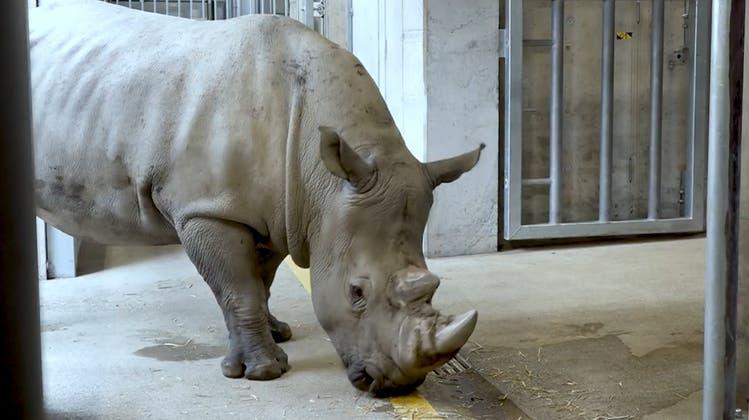 Neues Nashorn im Zoo Zürich: «Kimba» soll für Nachwuchs sorgen