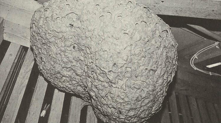 Das Wespennest im Estrich hatte eine Länge von rund 60 Zentimetern. (Bild: PD)