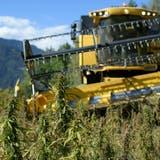 Darf versuchsweise in Zürich bald auch legal geraucht werden: Bio-Hanf aus der Schweiz. (Keystone)