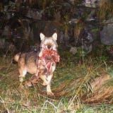 Ein Wolf – wohl M92, das Leittier des Beverin-Rudels – transportiert ein gerissenes Reh.