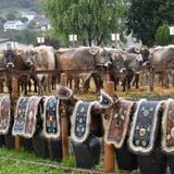 Herbstzeit ist Viehschauzeit. In Zuzwil werden jedoch am nächsten Samstag - entgegen der Planung - keineTiere aufgeführt. (Bild: Rita Bolt)