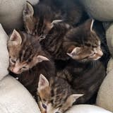 Im Aargau hat es so viele Findelkatzen wie noch nie. Das ist auch im Tierheim des Aargauischen Tierschutzvereins spürbar. (zvg/Aargauischer Tierschutzverein)