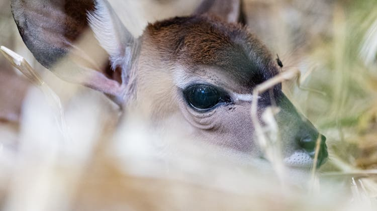 Das Jungtier braucht noch den Schutz der Mutter. (Zoo Basel)