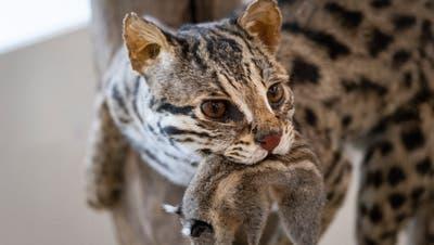 Katzen und ihre Verwandten jagen alles, was sich bewegt. So werden nicht nur Eichhörnchen und Mäuse zur Beute sondern auchInsekten, Eidechsen, Fledermäuse und Vögel. (Bild: Andri Vöhringer)
