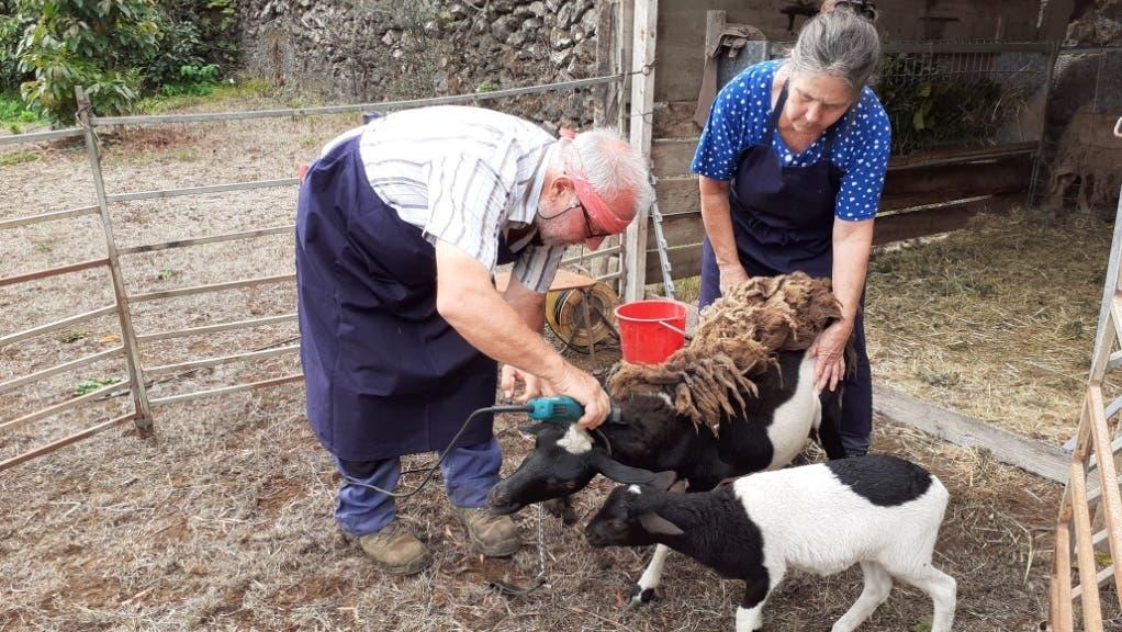 Auswanderer von Birmensdorfhelfen nach dem Vulkanausbruch auf La Palma den Ziegen und Schafen auf der Insel