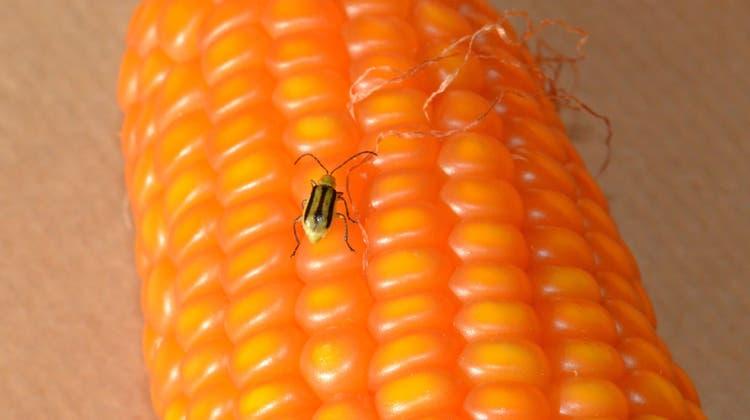 Der Maiswurzelbohrer ist ein gefährlicher Schädling für Maispflanzen. (Bild: PD)
