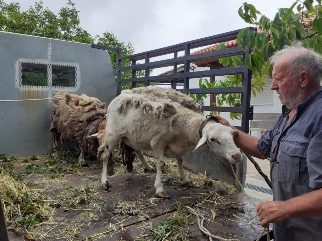 Herbert und Vevi Eppelsheimer wurden wegen einiger verwahrlosten Tiere zu Hilfe gerufen. Die Schafe und Ziegen waren wohl bereits längere Zeit nicht richtig gepflegt worden.