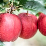 Ohne Äpfel geht nichts im Kanton Thurgau - bis jetzt. (Andrea Stalder)