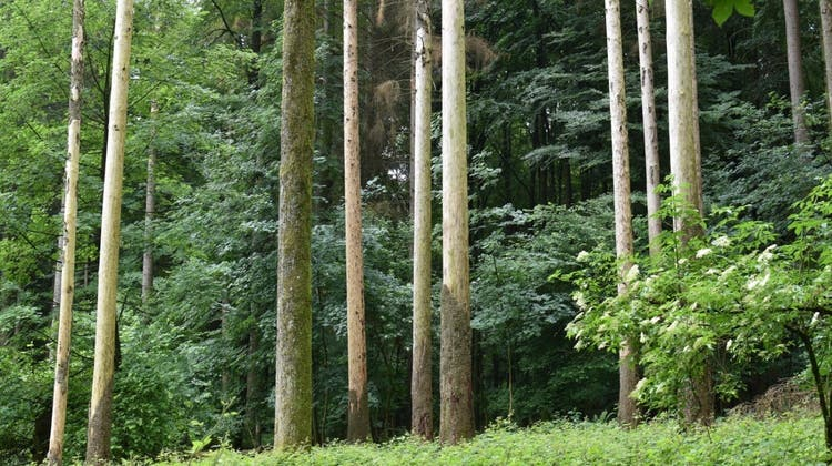 Der Borkenkäfer lässt Fichten im Sihlwald absterben und trägt so dazu bei, den Wirtschaftswald in einen Naturwald zu verwandeln. (Bild: PD)