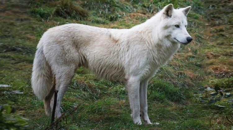 Zwei der drei neuen Wölfe sind weiss. (zvg)