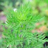 Die Ambrosiapflanze gehört zu den eingeschleppten Arten, die sich in der Schweiz bereits stark ausgebreitet haben. (Thomas Pfister)