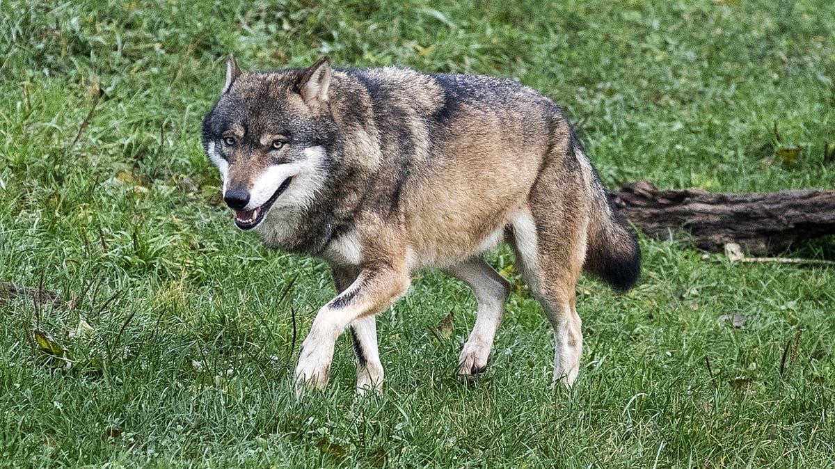 Unterschächen: Wolf reisst Schaf