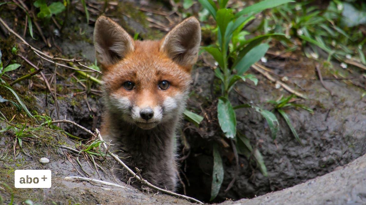Wildtiere-im-W-O-Gebiet-T-dliche-Krankheiten-bei-F-chsen-die-Hirsche-wandern-in-Richtung-Norden-aus